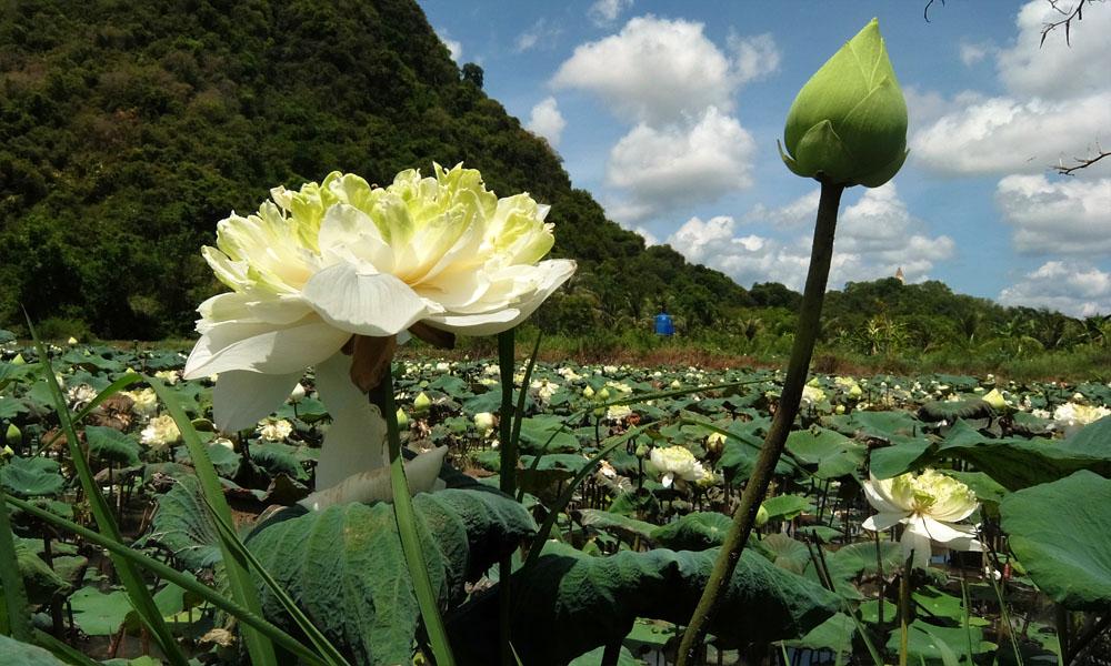 5 мая 2016. Тайланд, Патталунг.