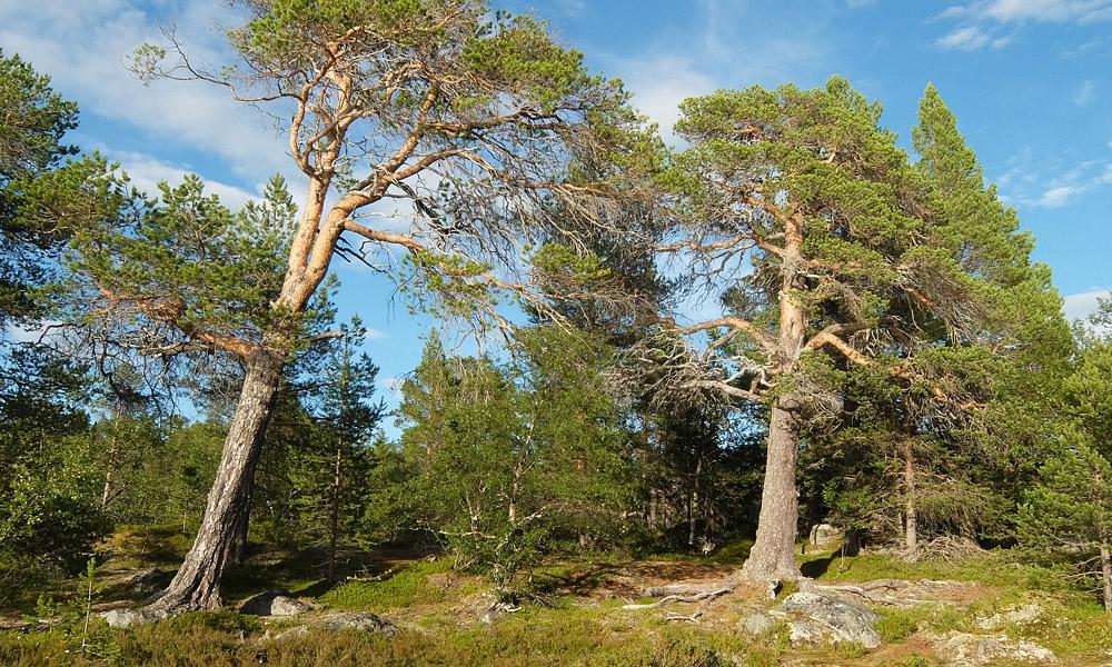 22 июля 2016. Швеция, Ругенский заповедник.